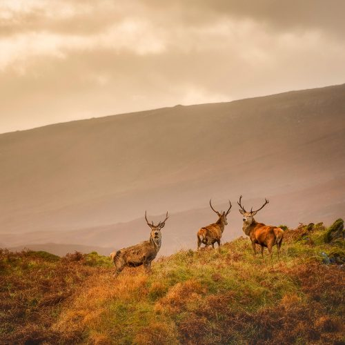 Majestic Red Deer Stags