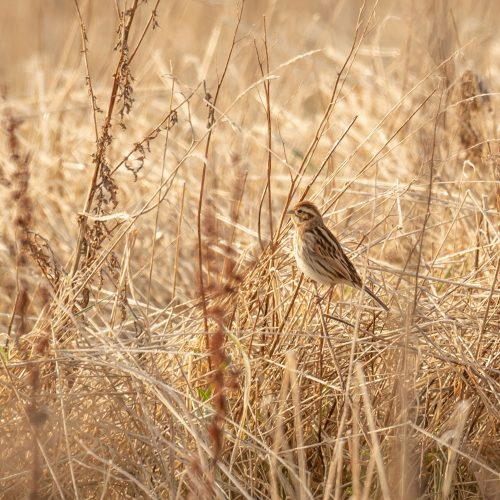 Reed Bunting Summer Field