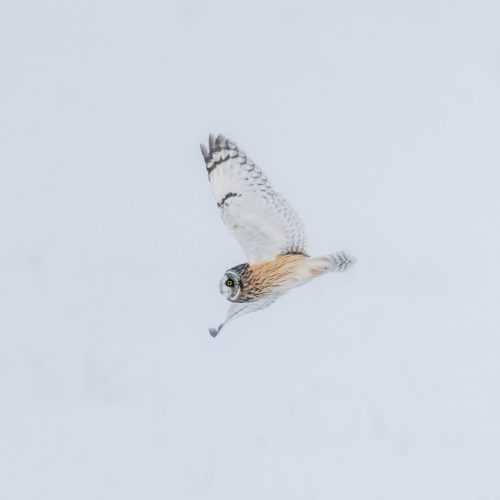 Short Eared Owl In Snow Storm